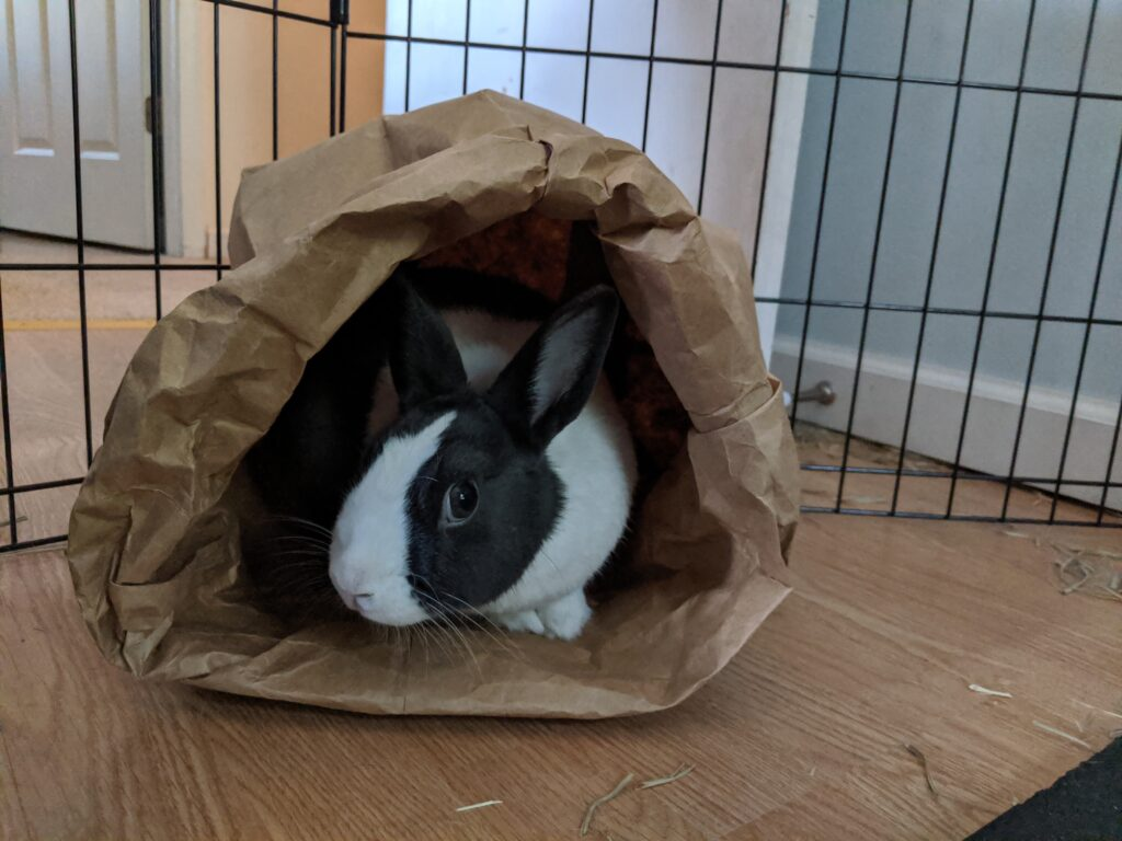 Black and white Dutch bunny rabbit who inspired the Rabbit Care Guide hiding and peeking out of a paper bag