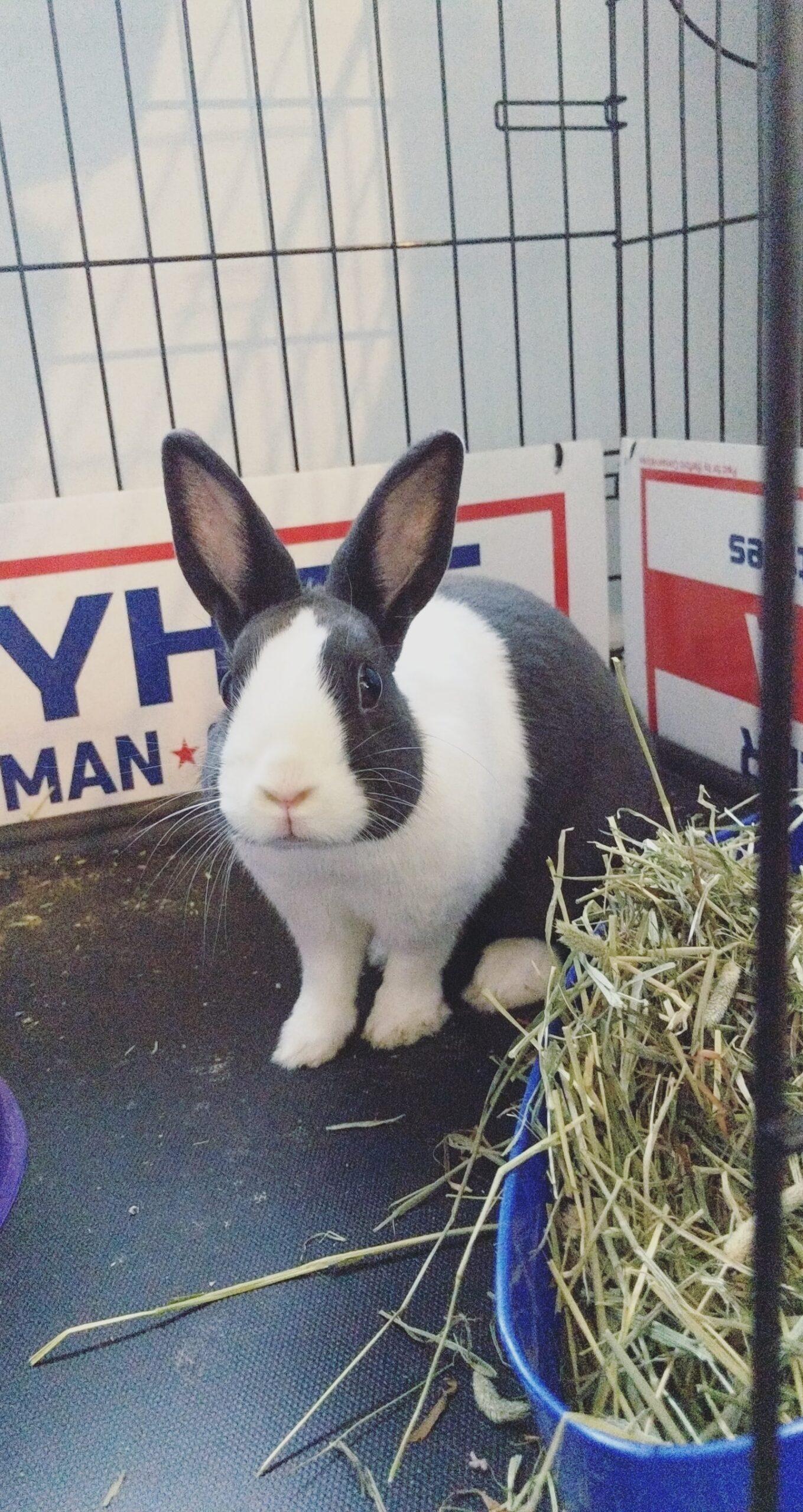 small black and white dutch bunny rabbit