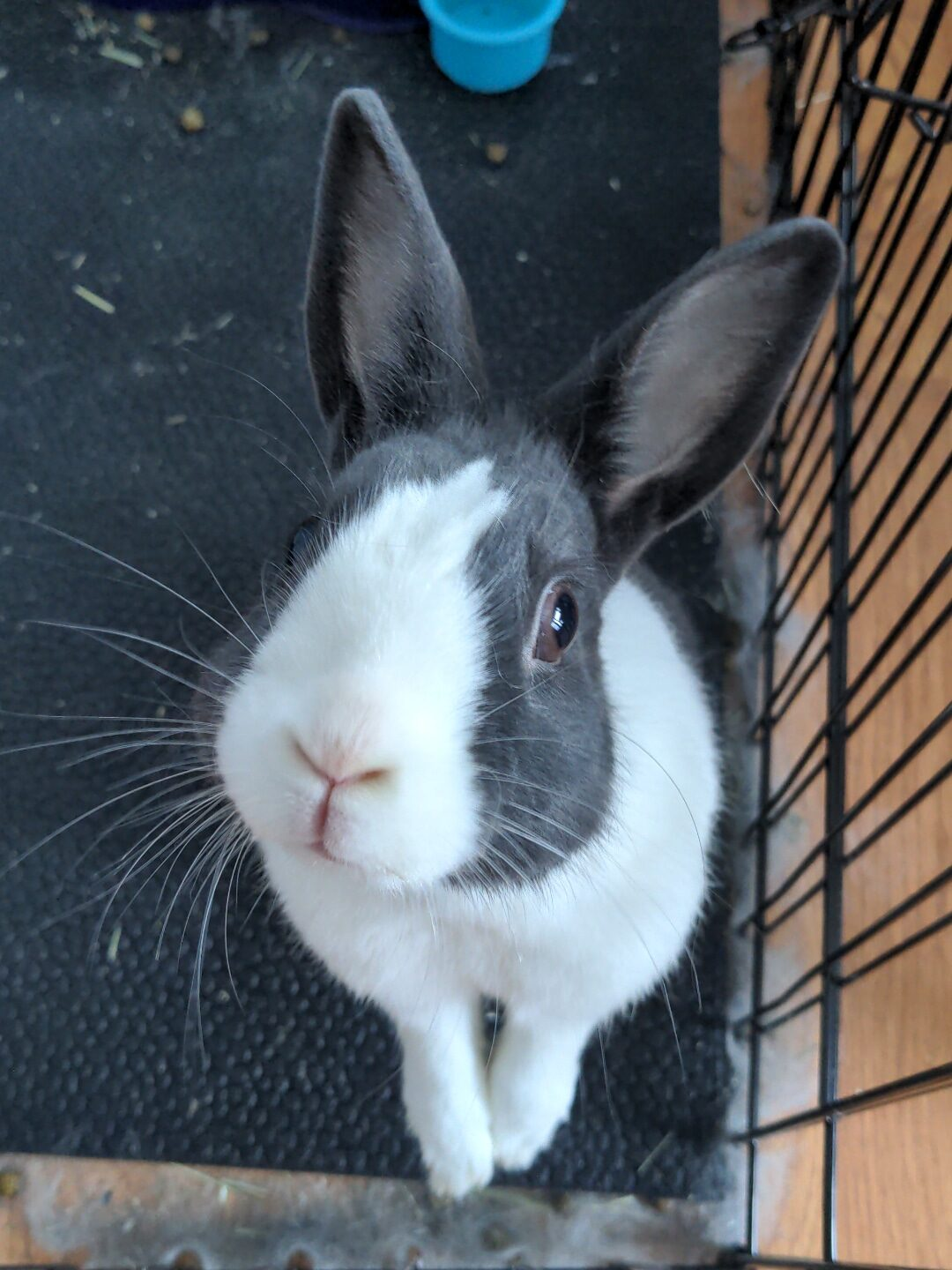 Black and white Dutch bunny rabbit who inspired the Rabbit Care Guide standing on his back legs and looking up into the camera