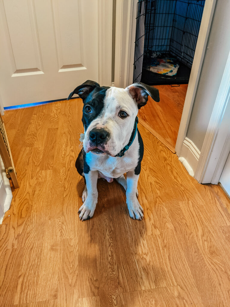 Medium sized Pitbull puppy, Levi, with black body, white feet, and a white face with a large black spot over his left eye sitting in a hallway with oak LVP flooring while wearing some of his puppy essential gear, the  blue Kong collar.