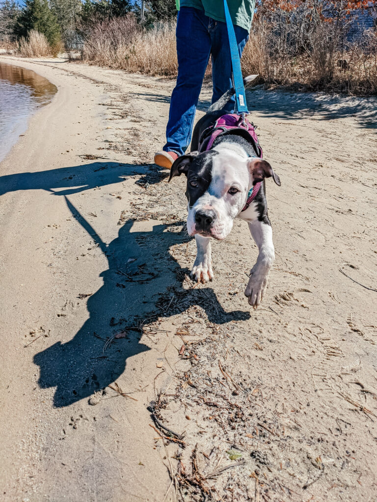 Medium sized Pitbull puppy, Levi, with black body, white feet, and a white face with a large black spot over his left eye on the beach at Manahawkin Lake walking towards the camera in the sand while wearing some of his puppy essential gear, including blue Kong leash, pink Kong Harness, and blue Kong collar.