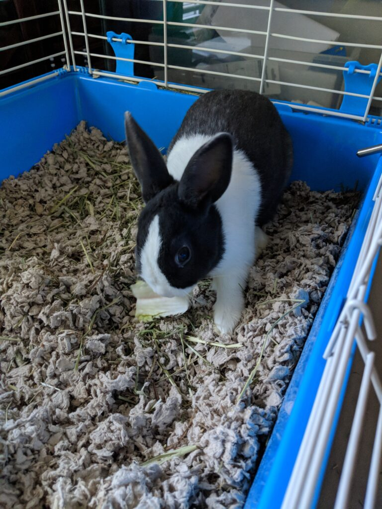 Gus at just 5 months old, a small black and white Dutch rabbit eating lettuce, inside a rabbit cage, before I knew what the best rabbit housing options were for him.